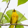Paruline jaune mâle chantant au parc Guindon à Cornwall le 28 mai 2012. <br /> <br /> Commun, printemps-automne.  Nicheur.           <br /> <br /> A male Yellow Warbler singing at Guindon Park in Cornwall on 28 May 2012. <br /> <br /> Common, spring-fall.  Breeds.