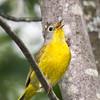 Paruline à joues grises.    Commun, printemps-automne. Nicheur _ Nashville Warbler.  Common, spring-fall. Breeds.