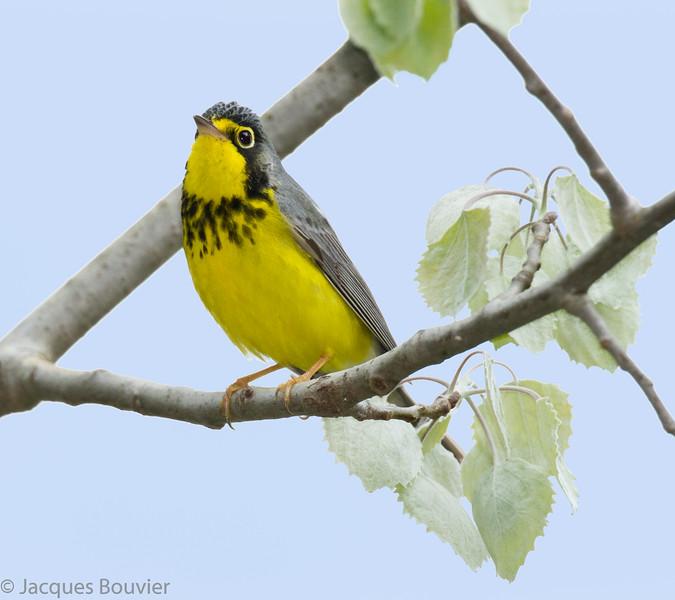 Paruline du Canada.  Peu commun, printemps-automne.  Nicheur _ Canada Warbler. Uncommon, spring-fall.  Breeds.