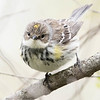 Paruline à croupion jaune.  Commun, printemps à l'automne; rare l'hiver.  Nicheur _  Yellow-rumped Warbler.  Common, spring to fall; rare in winter. Breeds.