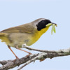 Paruline masquée.  Commun, printemps-automne.  Nicheur _  Common Yellowthroat.  Common, spring-fall.  Breeds.