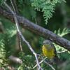 Paruline à tête cendrée.   Commun, printemps-automne.  Nicheur _   Magnolia Warbler.  Common, spring-fall.  Breeds.