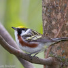 Paruline à flancs marron.   Commun, printemps-automne.  Nicheur. _  Chestnut-sided Warbler.   Common, spring-fall.  Breeds.