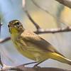 Paruline à couronne rousse.  Peu commun, printemps-automne. Rare l'été.  Nicheur  _  Palm Warbler.  Uncommon, spring-fall. Rare in summer.  Breeds.