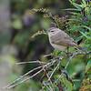 Paruline à couronne rousse.  Peu commun, printemps-automne  _  Palm Warbler.  Uncommon, spring-fall.