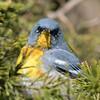 Paruline à collier.  Peu commun, printemps-automne. Nicheur _  Northern Parula   Uncommon, spring-fall.  Breeds.