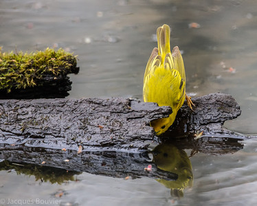 Paruline jaune à la recherche d'insectes au parc national de Pointe Pelée le 11 mai 2013.   Commun, printemps-automne. Nicheur.   A Yellow Warbler searching for insects at Point Pelee on 11 May 2013.   Common, spring-fall. Breeds.