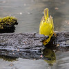Paruline jaune à la recherche d'insectes au parc national de Pointe Pelée le 11 mai 2013. <br /> <br /> Commun, printemps-automne. Nicheur.<br /> <br /> <br /> A Yellow Warbler searching for insects at Point Pelee on 11 May 2013. <br /> <br /> Common, spring-fall. Breeds.