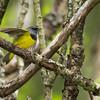 Paruline triste.  Peu commun, printemps-automne.  Nicheur _  Mourning Warbler.  Uncommon, spring-fall.  Breeds.