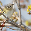 Viréo aux yeux rouges.  Commun, printemps-automne.  Nicheur _  Red-eyed Vireo.  Common, spring-fall.  Breeds.