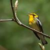 Paruline à gorge orangée.   Commun, printemps à l' automne. Nicheur _ Blackburnian Warbler.   Uncommon, spring to fall.  Breeds.
