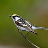 Paruline à flancs marron mâle dans le comté d'Argenteuil le 12 juillet 2010.  <br /> <br /> Commun, printemps-automne.  Nicheur.<br /> <br /> A male Chestnut-sided Warbler in Argenteuil county on 12 July 2010.  <br /> <br /> Common, spring-fall.  Breeds.