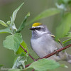 Paruline à ailes dorées.   Très rare, printemps _       Golden-winged Warbler.  Very rare, spring.
