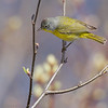Paruline à joues grises.    Commun, printemps-automne. Nicheur _ Nashville Warbler.  Common, spring-fall. Breeds.