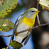 Paruline à collier sur la concession 6 au sud de la tourbière d'Alfred le 29 août 2010.  <br /> <br /> Peu commun, printemps-automne.  Nicheur.                                                                       <br /> Northern Parula along concession rd 6 south of Alfred Bog on 29 August 2010.  <br /> <br /> Uncommon, spring-fall.  Breeds.