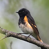 Paruline flamboyante.   Commun, printemps-automne.  Nicheur _ American Redstart.  Common, spring-fall.  Breeds.