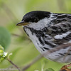 Paruline rayée.  Peu commun, printemps et l'automne _ Blackpoll Warbler.  Uncommon, spring and fall.