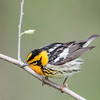 Paruline à gorge orangée mâle adulte au parc national Pointe Pelée le 12 mai 2013. <br /> <br /> Commun, du printemps à l' automne. Nicheur.<br /> <br /> <br /> An adult male Blackburnian Warbler at Point Pelee national park on 12 May 2013. <br /> <br /> Uncommon, spring to fall.  Breeds.