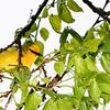 Paruline à ailes bleues.  Très rare, été _  Blue-winged Warbler.  Very rare, summer.