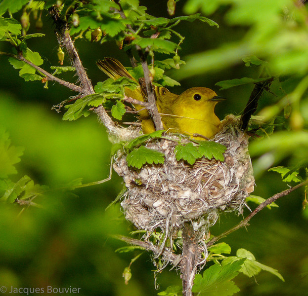Paruline jaune femelle dans son nid à Pointe Pelée le 16 mai 2009. <br /> <br /> Commun, printemps-automne.  Nicheur.           <br /> <br /> A female Yellow Warbler sitting in her nest at Point Pelee on 16 May 2009. <br /> <br /> Common, spring-fall.  Breeds.