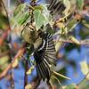 Paruline à gorge orangée femelle sur le chemin concession 6 au nord de St-Isidore, le 6 septembre 2010.  <br /> <br /> Commun, printemps-automne.  Nicheur.<br /> <br /> A female Blackburnian Warbler on Concession road 6, north of St-Isidore on 6 September 2010.  <br /> <br /> Common, spring-fall.  Breeds.