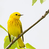 Paruline jaune mâle au parc Guindon à Cornwall le 28 mai 2012. <br /> <br /> Commun, printemps-automne.  Nicheur.           <br /> <br /> A male Yellow Warbler at Guindon Park in Cornwall on 28 May 2012. <br /> <br /> Common, spring-fall.  Breeds.
