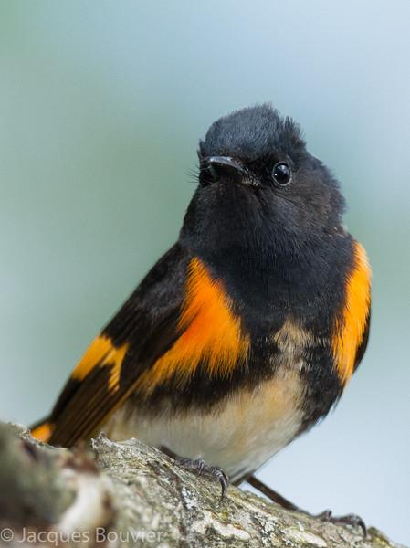 Paruline flamboyante.   Commun, printemps-automne.  Nicheur _ American Redstart.  Common, spring-fall.  Breeds.