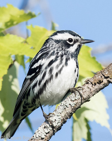 Paruline noir et blanc.  Commun, printemps à l'automne. Nicheur _ Black-and-white Warbler.  Common from spring to fall.  Breeds.