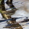 Paruline des ruisseaux.  Commun, printemps-automne.  Nicheur _ Northern Waterthrush. Common, spring-fall.  Breeds.