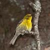 Paruline des pins.  Peu commun du printemps à l'automne; très rare l'hiver.  Nicheur _ Pine Warbler.  Uncommon from spring to fall; very rare in winter.  Breeds.