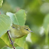 Paruline obscure. Peu commun, printemps et automne  _  Tennessee Warbler.  Uncommon, spring and fall.