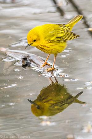 Paruline jaune mâle au parc national de Pointe Pelée le 11 mai 2013.   Commun, printemps-automne. Nicheur.   A male Yellow Warbler at Point Pelee on 11 May 2013.   Common, spring-fall. Breeds.
