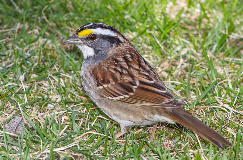 Bruant à gorge blanche adulte (forme à raies blanches) chez-moi à St-Isidore  le 22 avril 2013. <br /> <br /> Commun, printemps-automne. Rare durant l'hiver.  Nicheur.<br /> <br /> An adult White-throated Sparrow (white-striped morph) at my place in St-Isidore) on 22 april 2013. <br /> <br /> Common, spring-fall. Rare in winter.  Breeds.