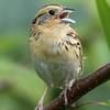 Bruant de Le Conte.  Très rare du printemps à l'automne.  Nicheur possible  _  Le Conte's Sparrow.  Very rare from spring to fall.  Possibly breeds.