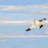 Plectrophane des neiges.     Commun, automne - printemps _   Snow Bunting.  Common, fall-spring.