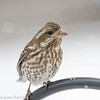Roselin pourpré .  Commun, printemps-automne. Rare l'hiver. Nicheur _ Purple Finch.  Common, spring-fall. Rare during winter. Breeds.