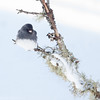 Junco ardoisé mâle à St-Isidore le 21 janvier 2013.<br /> <br /> Commun, automne-printemps, et rare l'été. Nicheur.<br /> <br /> <br /> A male Dark-eyed Junco in St-Isidore on 21 January 2013.<br /> <br /> Common, fall to spring, and rare in summer. Breeds