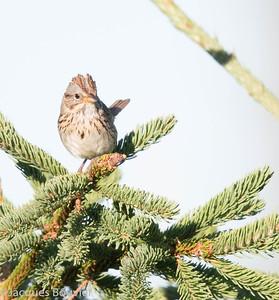 Bruant de Lincoln.  Peu commun, printemps-automne.  Nicheur _  Lincoln's Sparrow.  Uncommon, spring-fall.  Breeds.