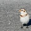 Plectrophane des neiges observé le 21 novembre 2008.  <br /> <br /> Commun, automne - printemps.<br /> <br /> Snow Bunting observed on 21 November 2008.  <br /> <br /> Common, fall-spring.