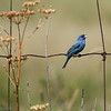 Passerin indigo mâle près de Plantagenet le 1 août 2010.  Peu commun, printemp-automne.<br /> <br /> Il n'est pas facile à trouver sur le sentier récréatif de Prescott et Russell.  Le sentier est tout de même l'un des meilleurs endroits pour le trouver dans notre cercle de miroise.  En juillet 2007 un total de 24 individus ont été vus le long des km suivants: 1, 9, 11 à 15, 18, 21, 26, 38, 55, 56, et 69 à 72.<br /> <br /> A male Indigo Bunting near Plantagenet on 1 August 2010.  Uncommon, spring-fall.<br /> <br /> It is not easy to find on the Prescott and Russell recreational trail. Regardless the trail is one of the better sites to find them in our 5 counties birding circle.  During July 2007  24 individuals were observed on the following kilometers:  1, 9, 11 à 15, 18, 21, 26, 38, 55, 56, et 69 à 72.