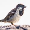 Moineau domestique mâle adulte photographié le 14 juillet 2012.  <br /> <br /> Commun toute l'année.  Nicheur.<br /> <br /> <br /> An adult male House Sparrow photographed on 14 July 2013.  <br /> <br /> Common all year.  Breeds.