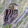 Bruant de Henslow.  Extrêmement rare, été. Nicheur probable dans le passé _ Henslow's Sparrow.  Extremely rare, summer.  Has probably bred in the past.