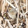 Bruant de Nelson.  Très rare, l'automne _ Nelson's Sparrow.  Very rare, fall.