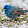 Passerin indigo. Peu commun du printemps à l'automne.  Nicheur _  Indigo Bunting. Uncommon from spring to fall.  Breeds.