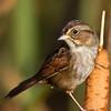 Bruant des marais de premier automne à la lagune d'Alfred le 29 septembre 2012.  <br /> <br /> Commun, printemps-automne.  Nicheur.<br /> <br /> A first fall Swamp Sparrow at the Alfred sewage lagoons on 29 September 2012.  <br /> <br /> Common, spring-fall.  Breeds.