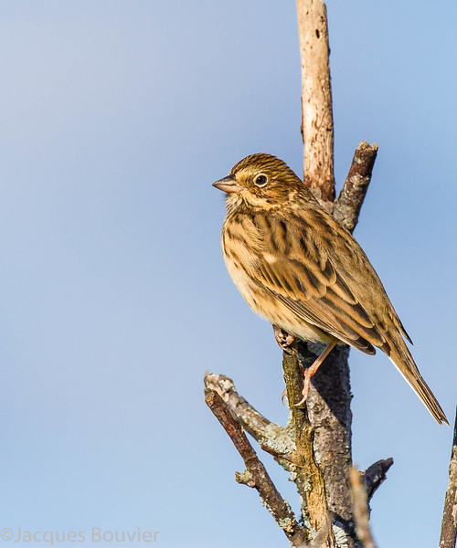 Bruant vespéral dans la région d'Alfred le 8 octobre 2013.<br /> <br /> Peu commun, printemps à l'automne.  Nicheur.<br /> <br /> A Vesper Sparrow in the Alfred area on 8 October 2013.<br /> <br /> Uncommon, spring to fall.  Breeds.