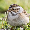 Bruant des plaines.  Rare, printemps-automne.  Extrêmement rare l'hiver. Nicheur  _  Clay-colored Sparrow.  Rare, spring-fall.  Extremely rare in winter.  Breeds.
