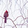 Cardinal rouge femelle adulte à Maxville le 15 février 2012. <br /> <br /> Peu commun, toute l'année.  Nicheur.<br /> <br /> Ce cardinal est très difficile à trouver sur le sentier récréatif de Prescott et Russell. En juillet 2007 seulement 5 individus ont été vus le long des km 20, 27, 62, 65 et 69.<br />  <br /> An adult female Northern Cardinal at Maxville on 15 February 2012. <br /> <br /> Uncommon, all year.  Breeds.<br /> <br /> It is very difficult to find on the Prescott and Russell recreational trail. During July 2007 only 5 individuals were observed along km 20, 27, 62, 65 and 69