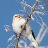 Plectrophane des neiges.     Commun, automne - printemps _   Snow Bunting.  Common, fall-spring.