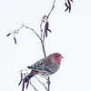Roselin familier mâle à St-Isidore le 13 février 2013. <br /> <br /> Peu commun, durant toute l'année. Nicheur.<br /> <br /> A male House Finch at my St-Isidore feeder on 13 February 2013. <br /> <br /> Uncommon, all year. Breeds.